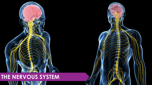 Nervous system ppt by biologywithyoyo teaching resources tes toneelgroepblik Image collections
