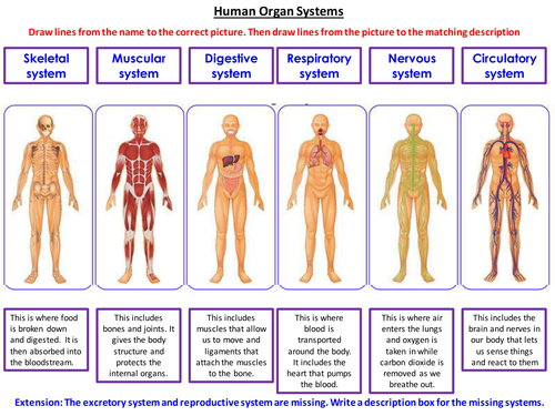 Organ Systems Matching Taskcard Sort By Mirri45 Teaching