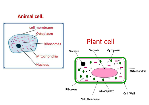 Plant and animal cells lesson 2 chapter 1 activate 1 by plant and animal cells lesson 2 chapter 1 activate 1 by purplepotassium teaching resources tes ccuart Image collections