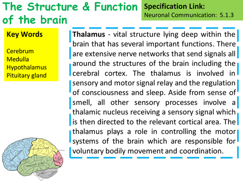 New OCR A2 Biology The Structure & Function of the Brain Lesson