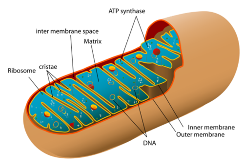 AQA A-level Biology (2016 specification). Section 5 Topic 14: Respiration
