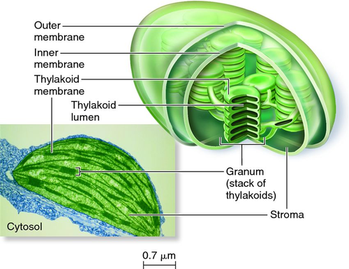 AQA A-level Biology (2016 specification). Section 5 Topic 11: Photosynthesis