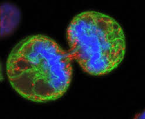 Cell biology and cell division