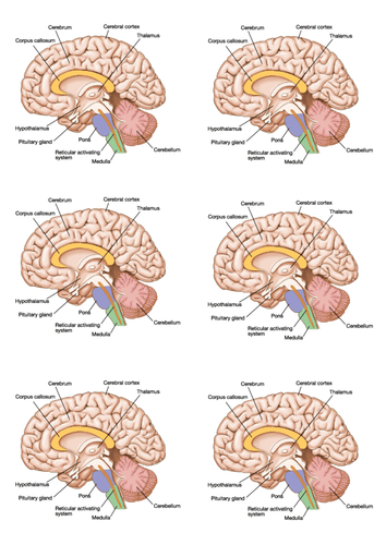 New GCSE - structure and function of the brain