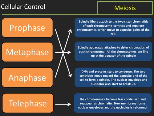 Meiosis lesson