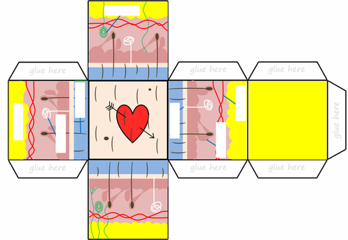 3D Human Skin Cross Section