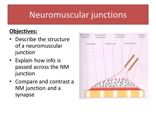 Neuromuscular Junctions New A Level Biology Aqa By Jigsaw33