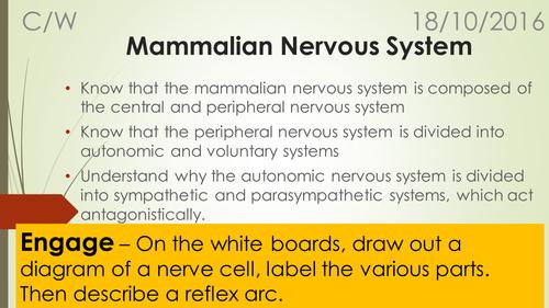 A-Level Biology B Edexcel – Topic 9 – L6 Mammalian Nervous system
