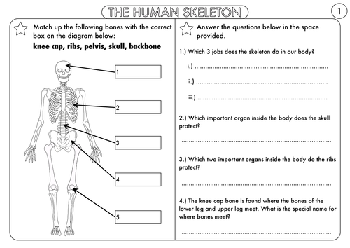 the skeleton and muscles powerpoint and worksheets by hilly577, Skeleton