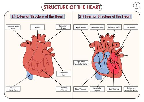 A level biology heart structure poster by beckystoke for Exterior of heart diagram