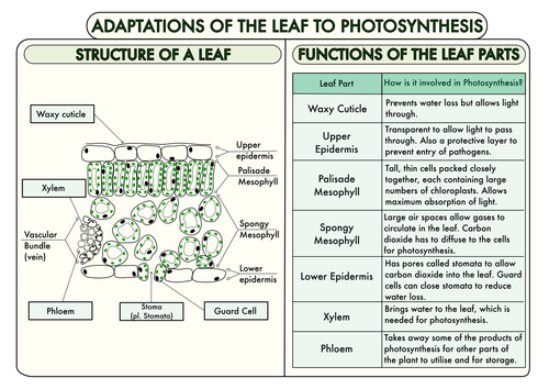Gcse Plant Biology Posters By Beckystoke Teaching Resources Tes