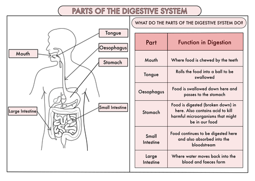Science Poster Pack On The Digestive System And Teeth For