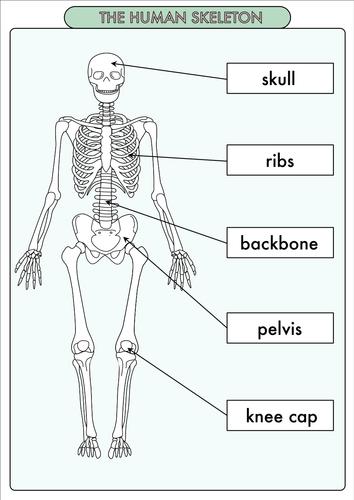 free human biology worksheets elementary school pdf