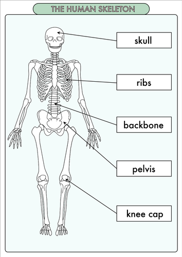 Science Poster Pack on the Skeleton and Muscles for Year 3
