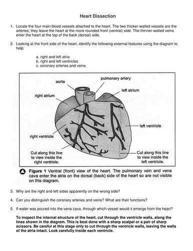 heart dissection practical report essay Pig heart dissection introduction: complete on a separate sheet of paper and attach to your lab report • sketch of external structure coloured.