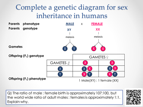 AQA A-level Biology (2016 spec). Section 7 Topic 17: Inherited changes 6 Sex linkage