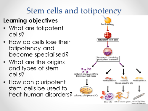 stem cells essay conclusion Open document below is an essay on stem cells from anti essays, your source for research papers, essays, and term paper examples.