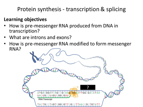 AQA AS & A-level Biology (2016 specification). Section 4 Topic 8: Protein synthesis 4 Transcription