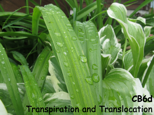 Edexcel CB6d Transpiration and Translocation