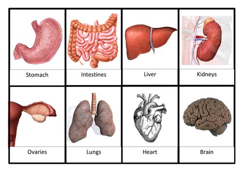 KS3 lesson on organ systems
