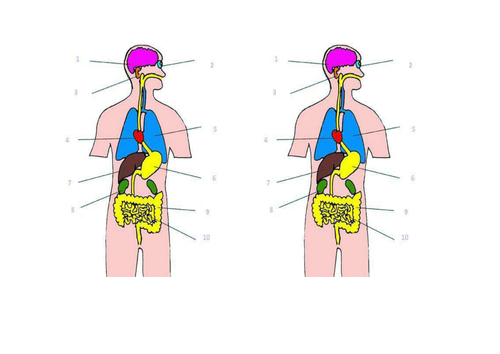 Lesson on organs KS3