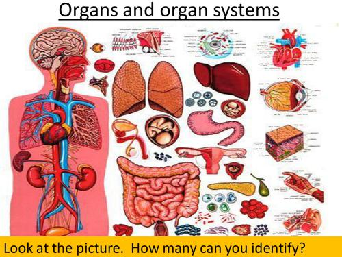 Ks3 Biology Cells Tissues And Organs By Bradfordboy Teaching