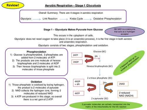 Aerobic Respiration Glycolysis Revision Card Activity New OCR A Level