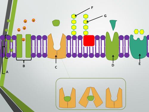 Transport across membranes topic. A Level Biology, AQA 7401/7402