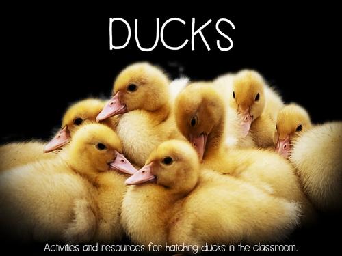 Hatching Ducks