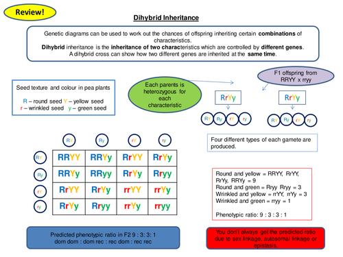 Dihybrid Inheritance Revision Card Activity New OCR A Level
