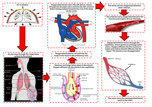 Edexcel 9 1 gcse pe the respiratory system by missbutterworthpe edexcel 9 1 gcse pe the respiratory system by missbutterworthpe teaching resources tes ccuart Image collections
