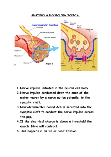 AS PE OCR ANATOMY & PHYSIOLOGY ACTION POTENTIAL & MUSCLE FIBRES ...