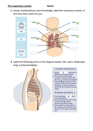 Ks3 sciencebiology breathing respiratory system worksheet by ks3 sciencebiology breathing respiratory system worksheet by jeroenvanos teaching resources tes ccuart Gallery