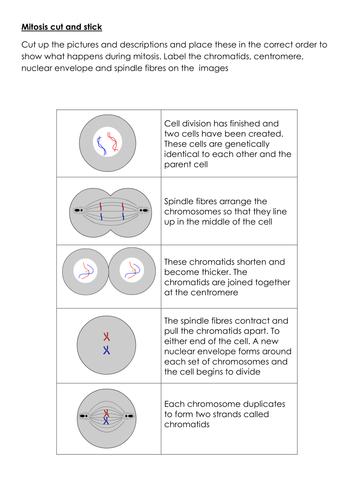 New AQA biology mitosis lesson
