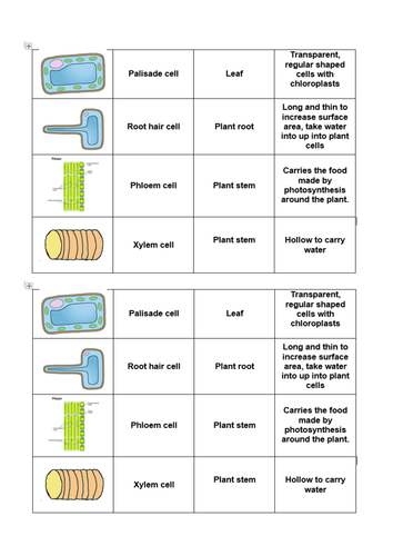 B1-specialisation of plant cells-card sort activity