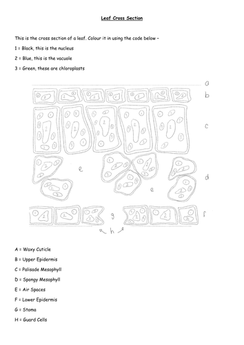 Leaf Cross Section Colour by Numbers, diagram and crossword and word search, plant organs foldable