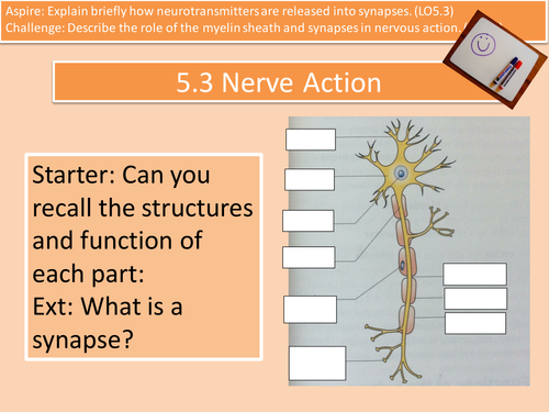 LO5.3 Nerve Action, Myelin Sheath and Synapses Unit 4 L3 Cambridge Technical Health