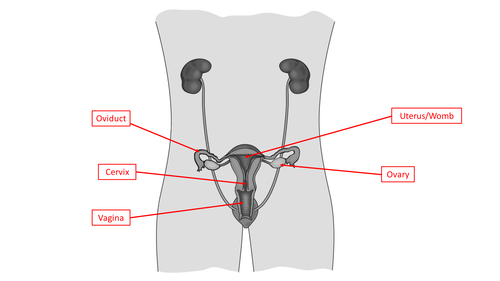 KS3 Science understanding the female reproductive system