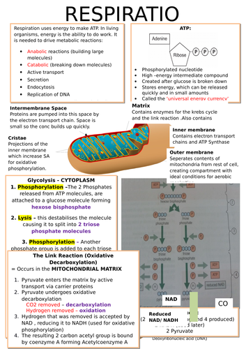 A-Level OCR Biology: Respiration