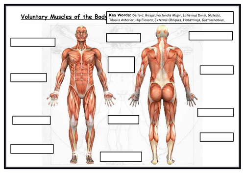 GCSE PE - Label Blank Muscles -With Key Words - Edexcel - Worksheet