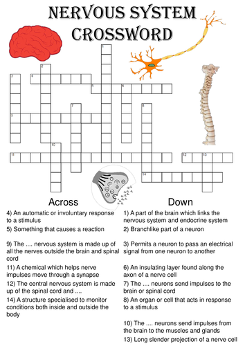 Biology Crossword Puzzle: The nervous system (Includes answer key)