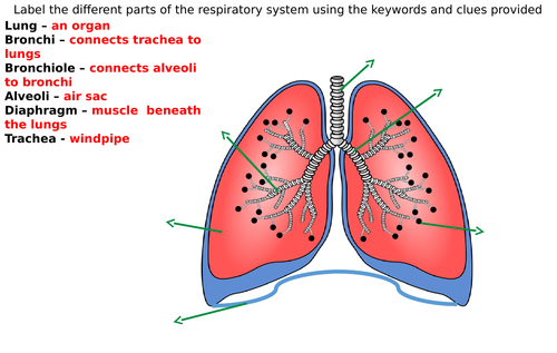 Respiratory System Diagram Label Worksheets (Differentiated)