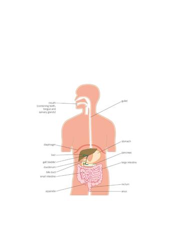 The Human Digestive System - AQA (9-1)