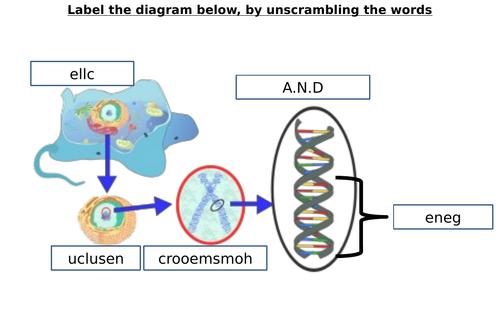 Chromosome, Gene, DNA Diagram Label Worksheets (Differentiated)