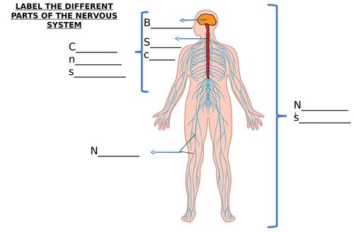 Nerve Cell & Nervous System Diagram Label Worksheets (Differentiated)