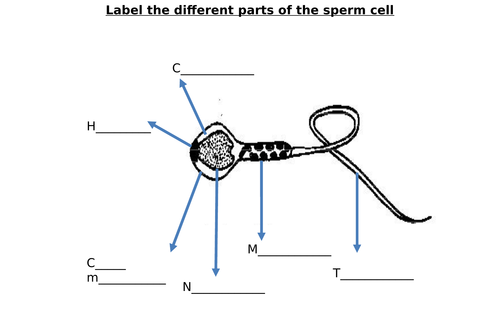 Sperm Cell, Egg Cell Diagram Label Worksheets (Differentiated)