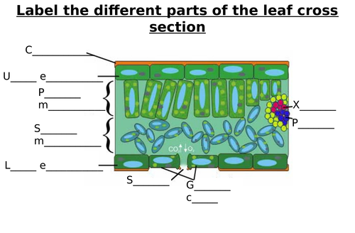 Leaf Cross Section Diagram Label Worksheets Differentiated By Zmzb