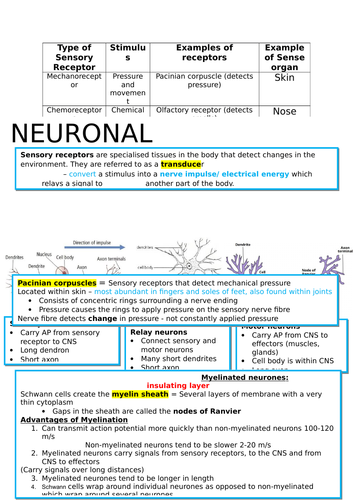 A Level Biology OCR: Neuronal Communication