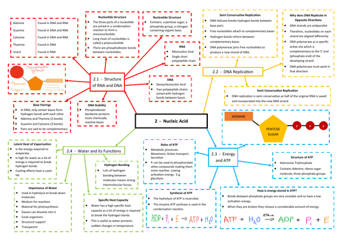 Nucleic Acids Revision Mind Map - AQA AS/A Level Biology (7401/7402)