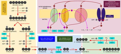 Summary Diagram of Respiration